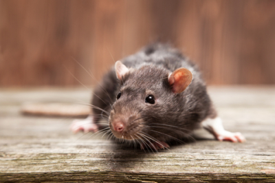 Lowcountry Pest Management   Rodent Control   Mount Pleasant, SC